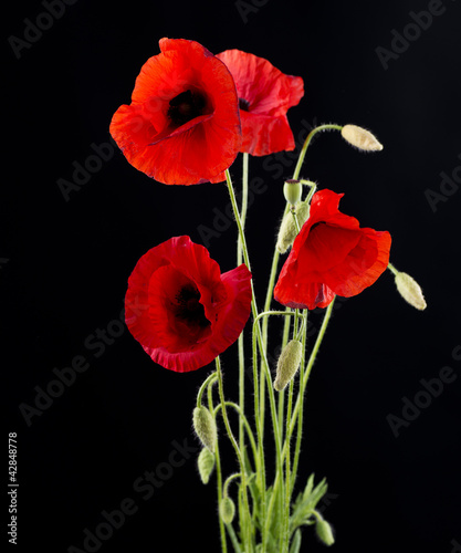 Red Poppy Flower Isolated on Black