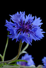 Beautiful cornflower