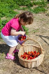 Kleines Mädchen gibt Erdbeeren aus einem Eimer in einen Korb