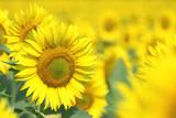 Fototapeta natura - światło słoneczne - Kwiat