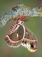 Cecropia moth on branch