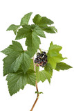 Black currants (Ribes nigrum) on branch