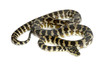 Python, Morelia spilota variegata, black and yellow