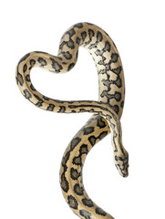 Python, Morelia spilota variegata