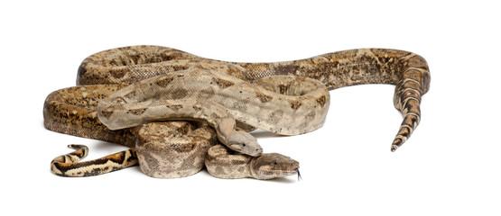 Two Common Northern Boas, Boa constrictor imperator