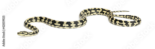 Python, Morelia spilota variegata, against white background