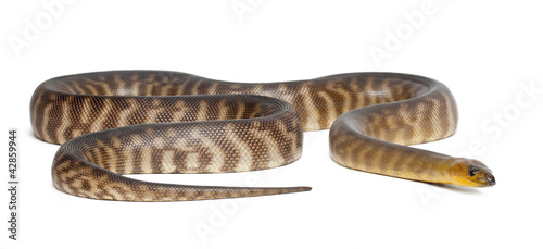 Python, Aspidites ramsayi, against white background