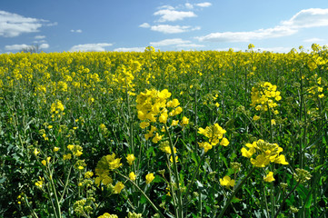 Oilseed rape crop in summer