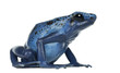 Blue and Black Poison Dart Frog, Dendrobates azureus