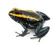 Golfodulcean Poison Frog, Phyllobates vittatus