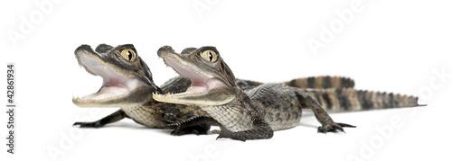 Foto op Plexiglas Krokodil Spectacled Caimans, Caiman crocodilus