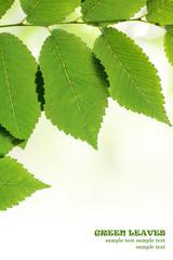 Green leaves border isolated over white. Natural frame