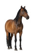 Mixed breed of Spanish and Arabian horse, 8 years old - 42863322