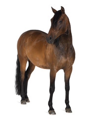 Mixed breed of Spanish and Arabian horse, 8 years old
