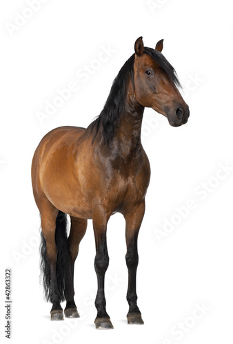 Fotobehang Paarden Mixed breed of Spanish and Arabian horse, 8 years old