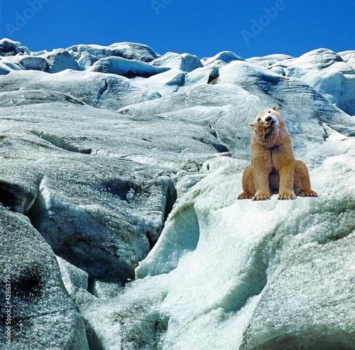 Fototapeten,arktis,polar bear,polarbär,urteilskraft