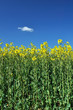 Oilseed rape crop with blue sky