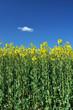 Oilseed rape crop with blue sky