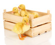 Duckling in crate isolated on white