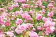 English rose bush