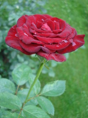 Wetted red rose