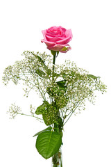 Beautiful pink rose with gypsum herb