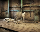 Sheep Shearing - Fine Art prints