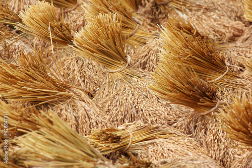 bundles of rice after the harvest
