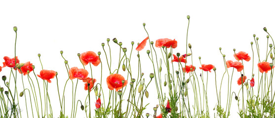 beautiful red poppies