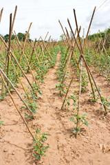 Baby cowpea or yard long bean  vegetable farm