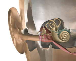 cross-section of the inner ear, front view