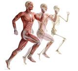 Fototapety anatomy, muscles