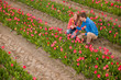 Dutch tourists are plucking tulips