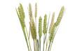 Weizen auf weißem Hintergrund