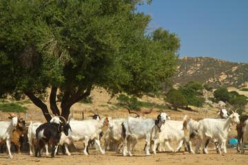 Allevamento di capre in Sardegna