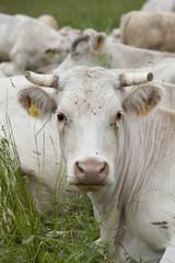 Vache de face