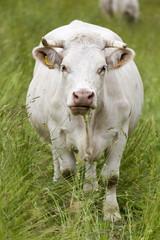 Vache laitière vue de face