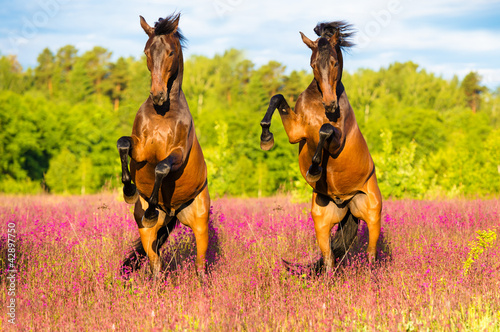 Two horses rearing up on the pink flowers meadow