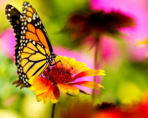 Monarch butterfly on a pretty flower
