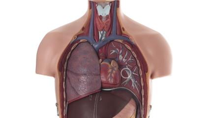 Male human body anatomical model