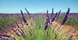 Provence - Plateau de Valensole