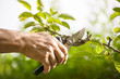 Pruning of  trees with secateurs - 42902721