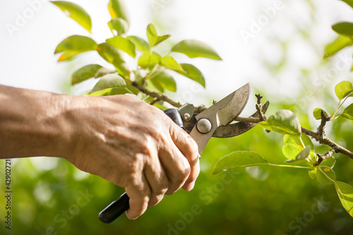 Leinwanddruck Bild Pruning of  trees with secateurs