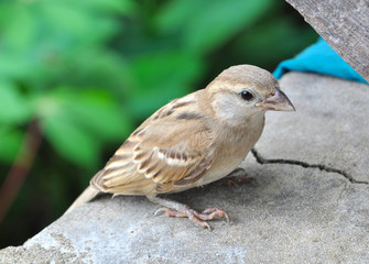 Closeup of a small sparrow resting