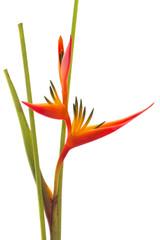 Tropical flower Bird of Paradise, isolated on white background