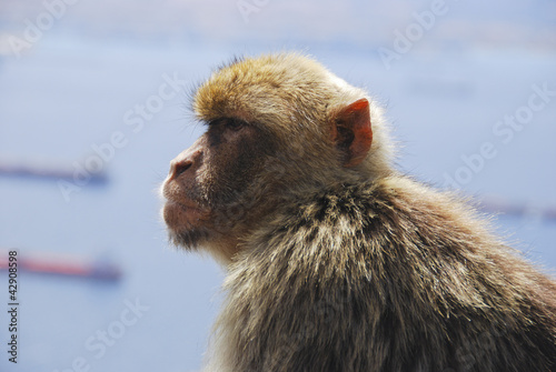 Ape Looking at view on Rock of Gibraltar