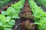 Routes de salades dans le potager