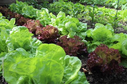 Salades dans le jardin