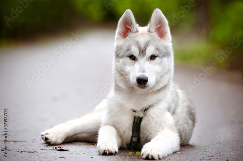 siberian husky puppy in harness laying down