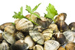 A group of Clams close up background